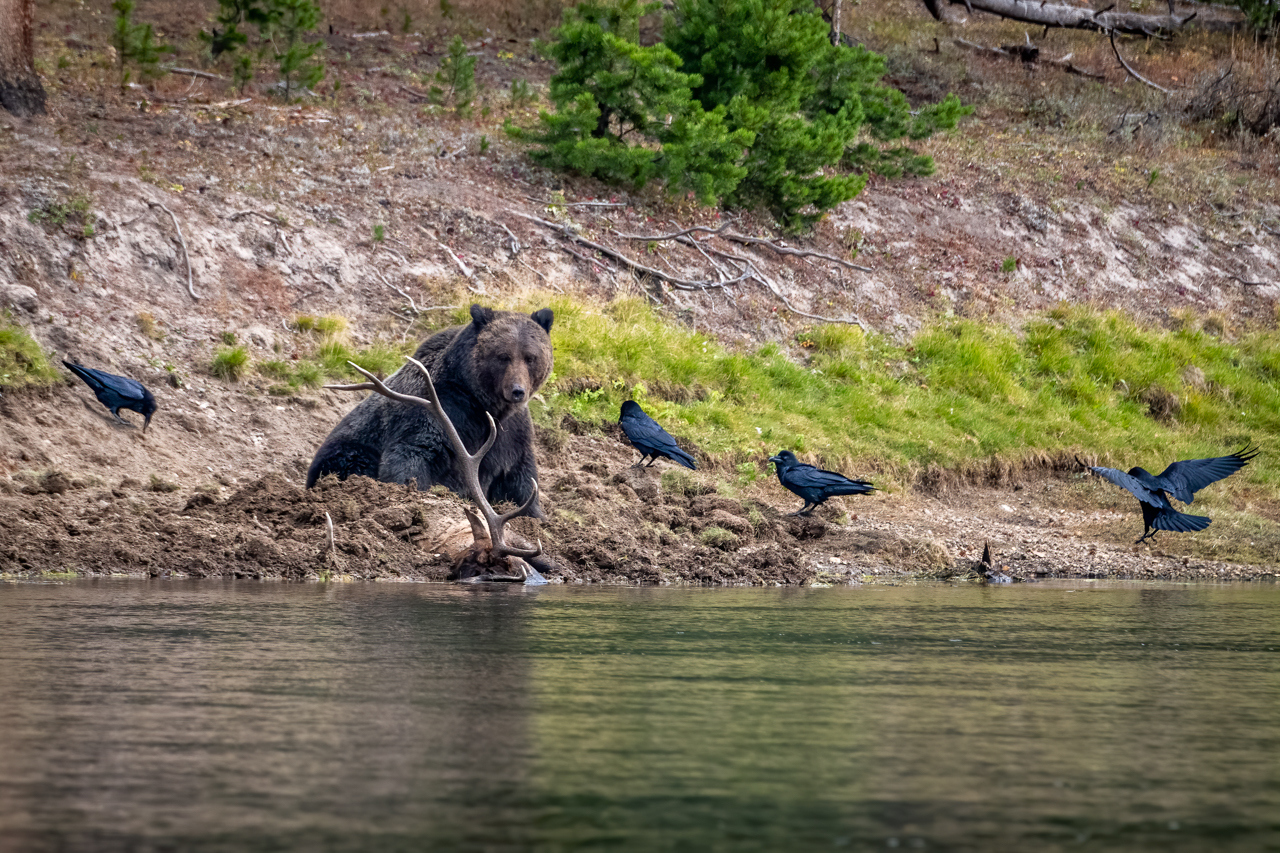 Grizzly 791 Guarding his Elk - Diane Herman - MNPC