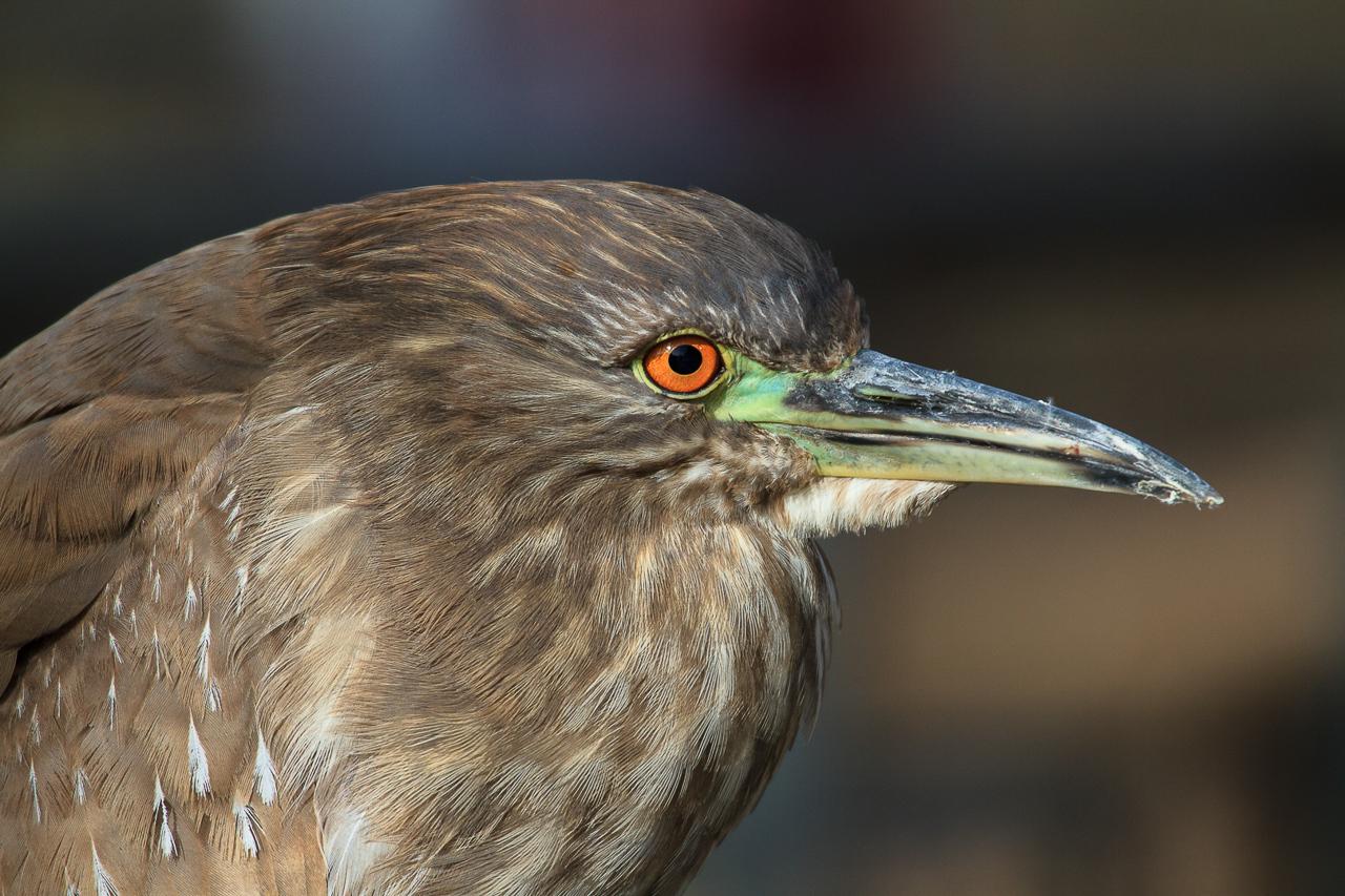 Juvenile Black Capped Night Heron - Larry Weinman - WWPC