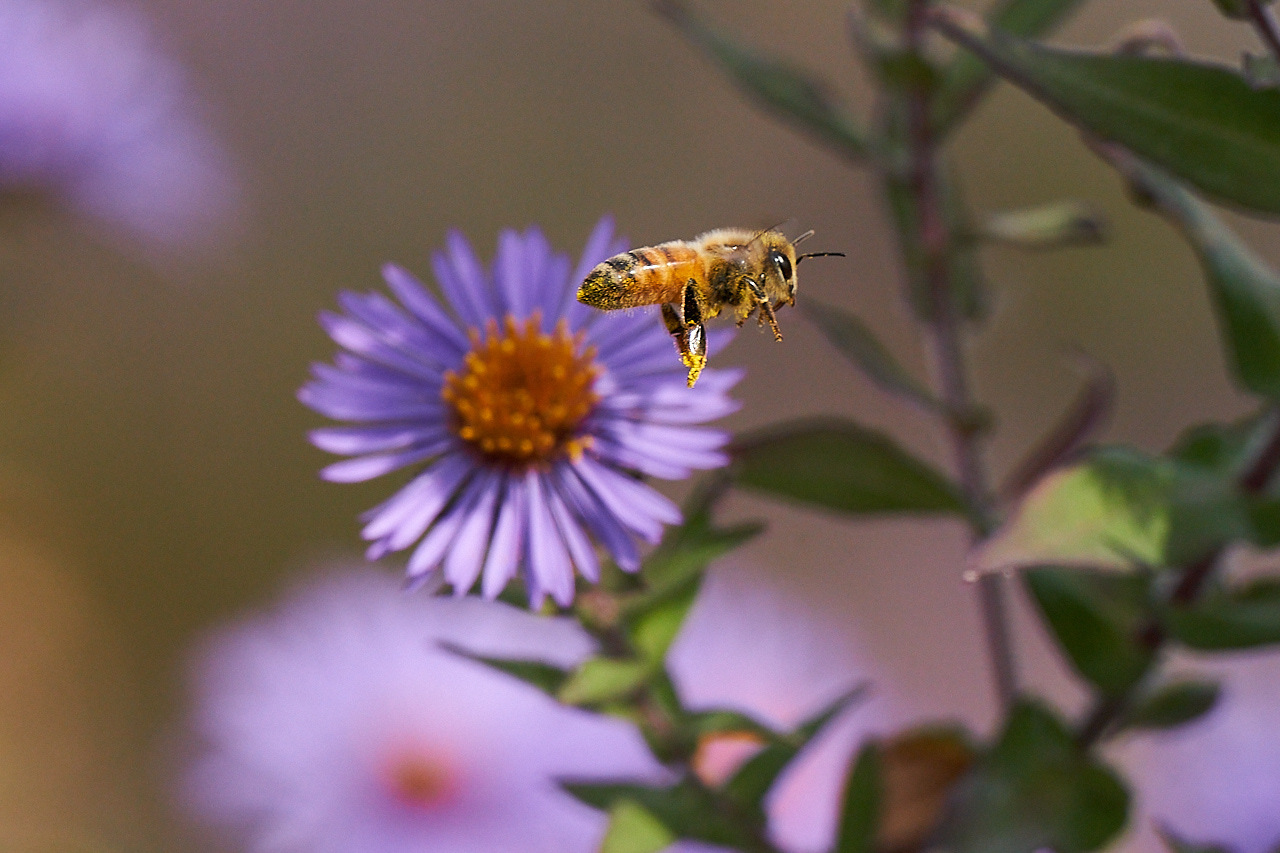 Honorable Mention - Bee - Mike Fuerst - Minneapolis Photographic Society