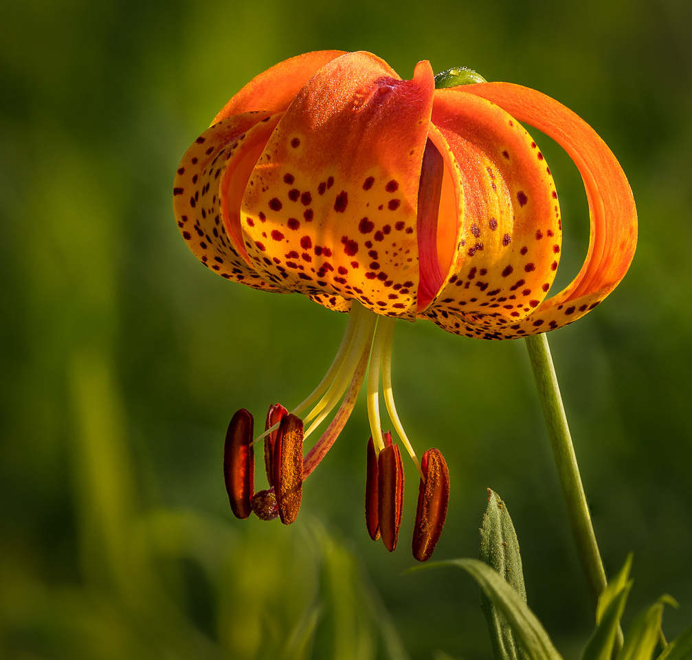Honorable Mention - Turks Cap Lily - Rick Graves - Minnesota Valley Photography Club