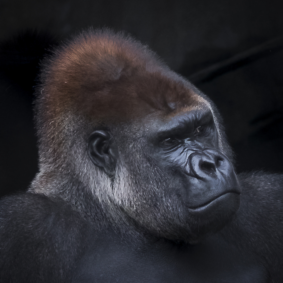 Honorable Mention - Gorilla - Paul Stearns - MCC