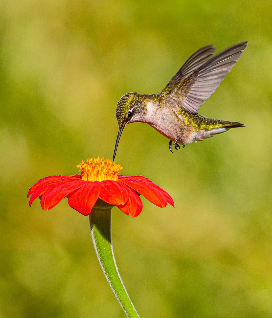 PSA PID - Round 1 Honorable Mention - David Perez - Hummingbird With Flower